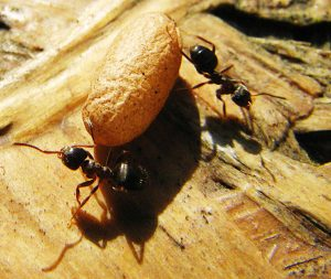 Des fourmis pour nettoyer les rues